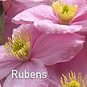 Clematis m. Rubens