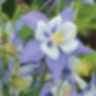 Aquilegia Songbird Blue Bird - Columbine