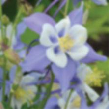 Aquilegia Songbird Blue Bird - Columbine