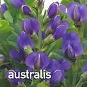 Baptisia australis - False Indigo.jpeg