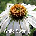 Echinacea White Swan - Coneflower