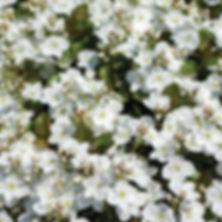 Veronica Whitewater - Speedwell.jpg