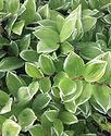 Polygonatum variegata - Solomon's Seal