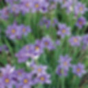 Sisyrinchium Lucerne - Blue-Eyed Grass.