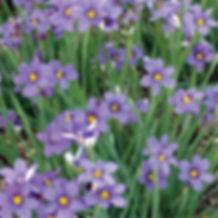 Sisyrinchium Lucerne - Blue-Eyed Grass.j