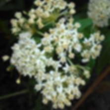 Asclepias incarnata Ice Ballet - Swamp Milkweed