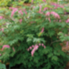 Dicentra spectabilis - Old Fashioned Ble