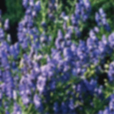Aconitum fischeri - Monkshood.jpg
