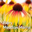 Echinacea Fiery Meadow Mama - Coneflower