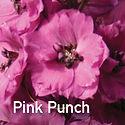 Delphinium Pink Punch - Perennial Larkspur