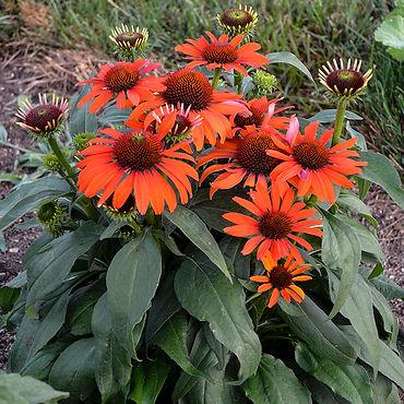 Echinacea Atomic Orange - Coneflower