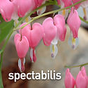 Dicentra spectabilis - Old-Fashioned Ble