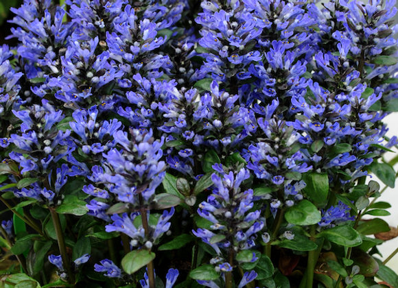 Ajuga r. 'Blueberry Muffin'