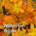 Crocosmia Walberton Yellow - Montbretia.