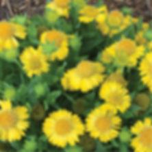 Gaillardia Mesa Yellow - Blanketflower.j