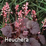 Heuchera Bella Notte - Coral Bells