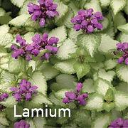 Lamium Purple Dragon - Dead Nettle