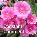 Lewisia Constant Comment - Cliff Maids.j
