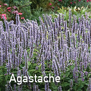 Agastache Blue Fortune - Anise Hyssop.