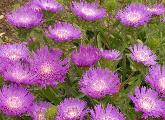 Stokesia l. 'Honeysong Purple'