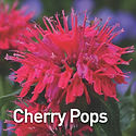 Monarda Cherry Pops - Bee Balm.jpeg