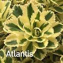 Sedum Atlantis - Stonecrop.jpeg.jpeg