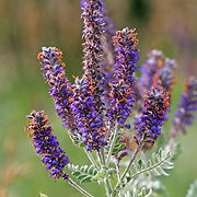 Amorpha canescens- Ironweed.jpg