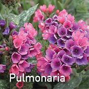 Pulmonaria Raspberry Spash - Lungwort