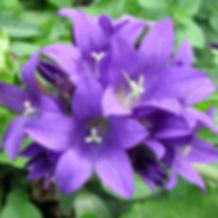 Campanula g. Superba - Clustered Bellflower