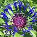 Centaurea m. Blue - Mountain Bluet CU.pn