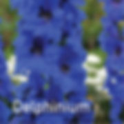 Delphinium Million Dollar Blues - Larkspur