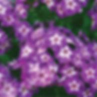 Phlox pan. Laura - Tall Garden Phlox.jpg
