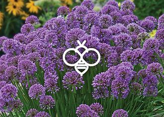 Perennials for Bees - Allium Millenium