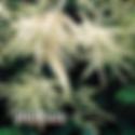 Aruncus dioicus - Goatsbeard