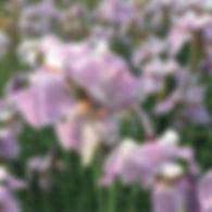 Iris s. Pink Haze - SIberian Iris.jpg