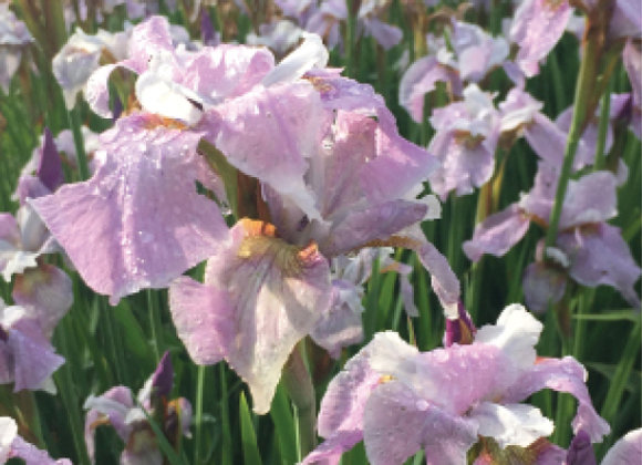 Iris sibirica 'Pink Haze'