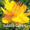 Trollius Golden Queen - Chinese Globeflower