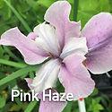 Iris s. Pink Haze - Siberian Iris.jpeg