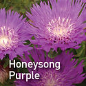 Stokesia Honeysong Purple - Stokes Aster