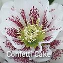 Helleborus Confetti Cake - Lenten Rose