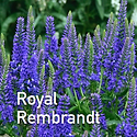 Veronica Royal Rembrandt - Speedwell.