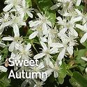 Clematis pan. Sweet Autumn.jpeg