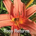 Daylily Rosy Returns