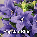 Platycodon Popstar Blue - Balloon Flower