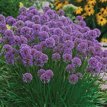 Allium s. Millenium.jpg