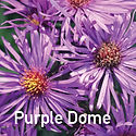 Aster Purple Dome