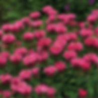 Monarda Cherry Pops - Bee Balm.jpg