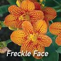 Belamcanda Freckle Face - Blackberry Lily
