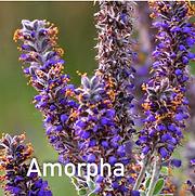 Amorpha canescens - Lead Plant.