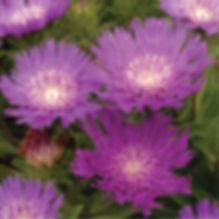 Stokesia Honeysong Purple - Stokes Aster